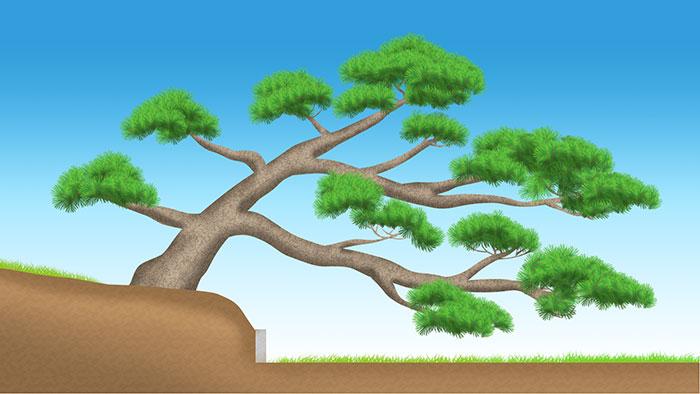 松の成長4